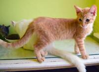 "Young Male Cat - Domestic Short Hair: ""Kenver"""