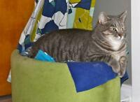 "Adult Male Cat - Tabby - Grey: ""Stue"""