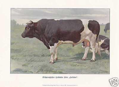 """Holländer Stier """"Herkules"""" FARBDRUCK von 1925 Reprint"""