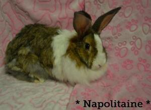 "Young Female Rabbit - Lionhead: ""Napolitaine"""