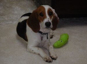 """Young Female Dog - Beagle-Terrier: """"Willow"""""""