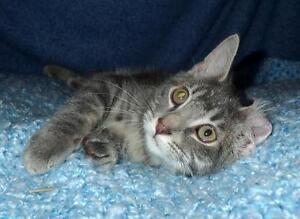"Baby Male Cat - Tabby (Gray): ""Sammy"""