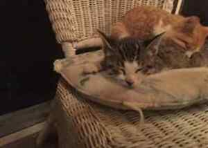 1st vac. Included! 2 adorable kittens need their forevever home