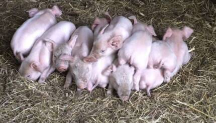 Piglets and sow for sale - Large White