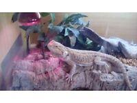 Beared dragon with vivarium