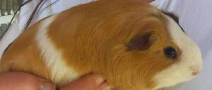 Beautiful tame female guinea pigs for sale Comboyne Port Macquarie City Preview