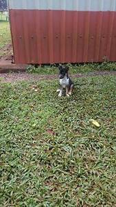 Kelpie x Collie pups for sale Utchee Creek Cassowary Coast Preview