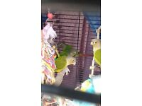 Hand tame baby conures £205