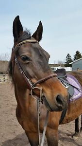 Quiet Horse for Half-Lease at Lovely Moncton Stable