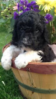 STANDARD POODLE PUPPIES, TWO TUXEDO MALES AVAILABLE