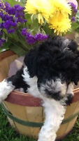 Black and White Standard Poodle Puppy