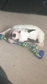 French bull dog for sale
