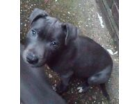 Gorgeous Blue staff puppy boy for sale