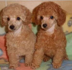 Toy poodles!!!!