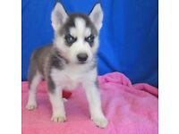 Charming Siberian Husky puppies for sale.