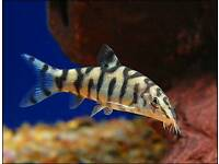 5 x large tropical fish