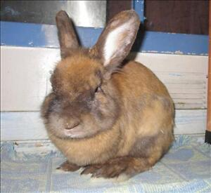 "Adult Male Rabbit - Lionhead: ""Jasper"""