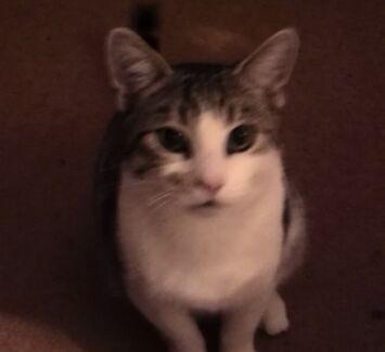 Wanted: Lost cat in macquarie hills $200 REWARD