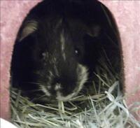 "Young Male Small & Furry - Guinea Pig: ""Pika"""