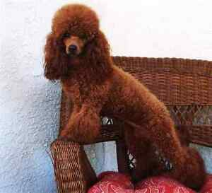 WTB Red miniature poodle female Armidale Armidale City Preview
