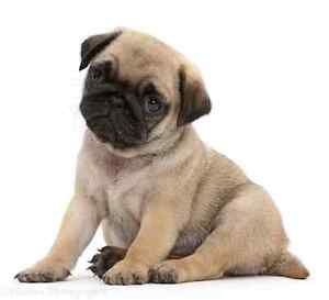 Looking for small breed puppy Narara Gosford Area Preview