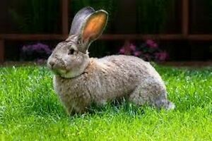 looking for flemish giant rabbits