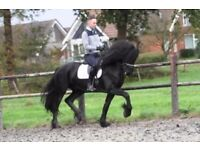 Exceptional Sport 7 Year Old Friesian Stallion for good home