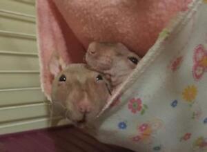 "Adult Male Small & Furry - Rat: ""Seth & Rogan"""