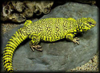 Orange and yellow Uromastyx for sale