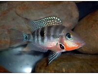 Firemouth Cichlid South American Cichlid Live Tropical Fish