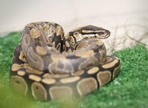 "Young  Scales, Fins & Other - Ball Python: ""Monty"""