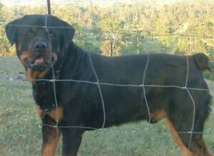 Rottweiler Male and Bobail Female Companion to good Home Maroochydore Maroochydore Area Preview