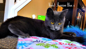 Meet VIOLET...Russian Blue Mix Kitten...Adorable,Adoptable London Ontario image 4