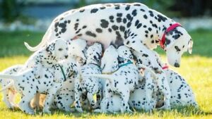 WANTED: Dalmatian puppy
