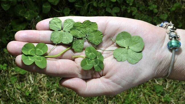 25 Real 4 Leaf Clovers - 2021 Luck (25 Genuine Four Leaf Clovers)- Memorial