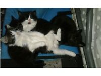 Sweet kittens males females avaliable wormed an deflead ready today