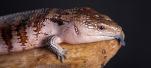 Looking for a female blue tongued skink for sale