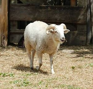 Wanted: Wiltshire Ram
