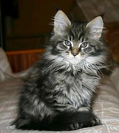 Maincoon and Siberian Mix kitten