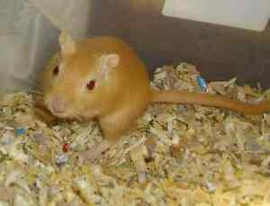 Free male Gerbil