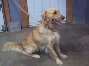 Will Golden Retriver pour adoption !