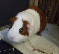 "Young Female Small & Furry - Guinea Pig: ""Ginger"""
