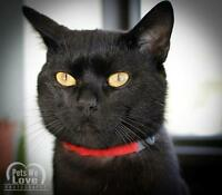 "Adult Male Cat - Domestic Short Hair-black: ""Kane"""