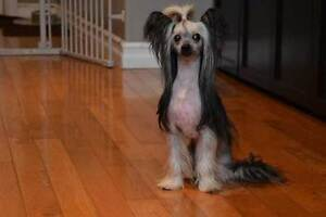 Chinese Crested (Hairy Hairless) for sale - Retired female