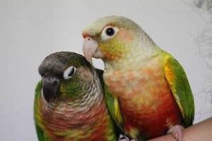 ❤★❤ Adorable,Tame CONURE Babies With CAGE❤★❤ Stratford Kitchener Area image 8