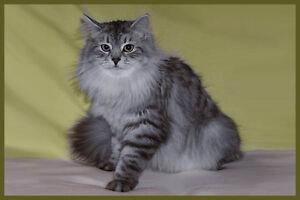 Siberian Cat WANTED - SUMMER 2016
