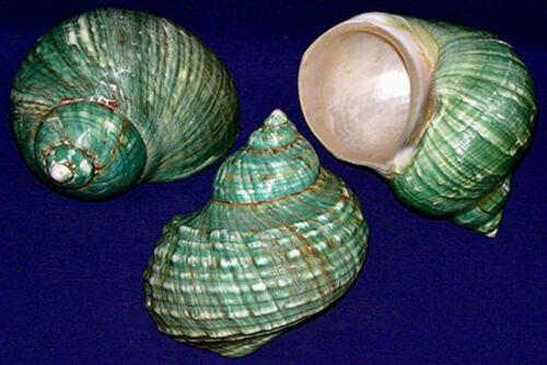 "(1) Polished Jade Green Turbo Burgess Shell~ 3-1/2"" - 4"" Turban Seashell"
