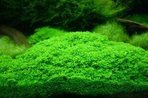 Carpeting Aquarium Plants - Marsilea hirsuta