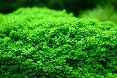 Hemianthus Callitrichoides Cuba CUP Live Aquarium Plants Dwarf Baby Tears Carpet