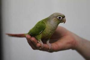 ❤★ Handfed CONURES With CAGE★❤